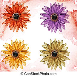 daisy - illustration drawing of four beautiful color daisies...
