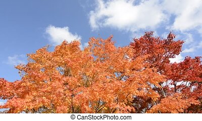 Autumn maple tree - Turned orange and red of autumn maple...