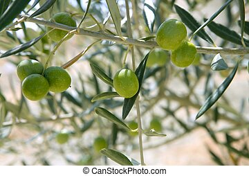 Country olive young trees hill field in Spain