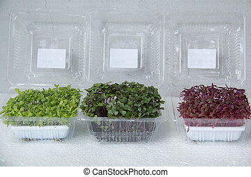 Garden cress organic sprouting seedlings, fresh and healthy.