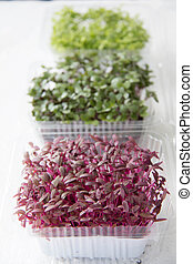Garden cress organic sprouting seedlings, fresh and healthy