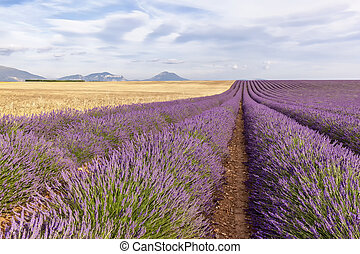Two thirds lavender and wheat tier, France