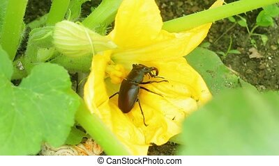 stag beetle in flower - a large dark beetle, the male of...
