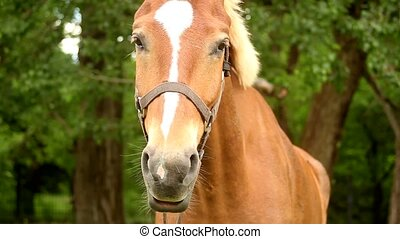 muzzle brown horse