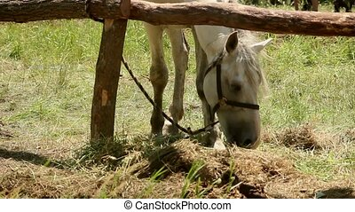 White horse eating grass in a makeshift stall