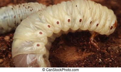 bark beetle larva