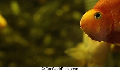 goldfish looking at the camera