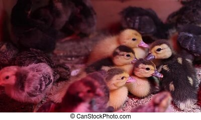 Newly hatched group duckling