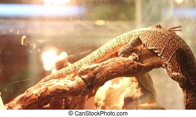 fastest lizard, varan