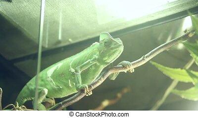 terrarium chameleon creeps