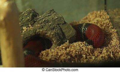terrarium kingsnake, ouroboros