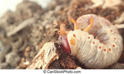 bark beetle larva - larva turns on its belly