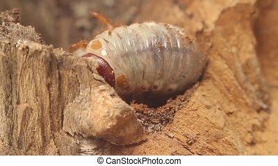 bark beetle larva - larva on the back