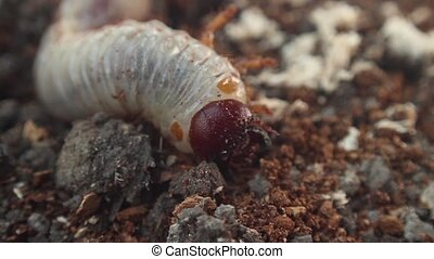 bark beetle larva - larva with open jaws