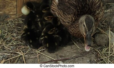 wild duck and ducklings - Duck protect newly hatched...