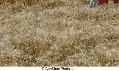 Agricultural scene, wheat harvest - Wheat harvesting,...