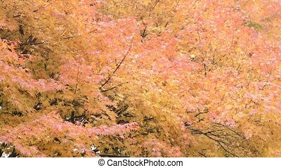 Autumn maple leaves - Autumn bright orange maple leaves in...