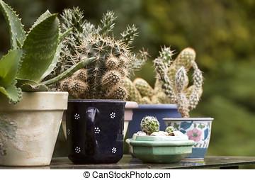 Cactuses - Cactus plants in various ceramic planters