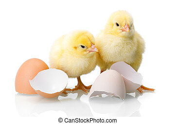 Yellow newborn chickens with egg shells - Yellow newborn...