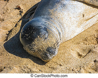 Seal portrait - Closeup of hawaiian monk seal sunning on...
