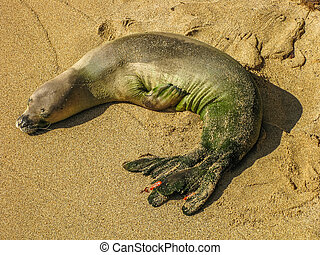 Baby monk seal - Baby Hawaiian monk seal sleeping on the...