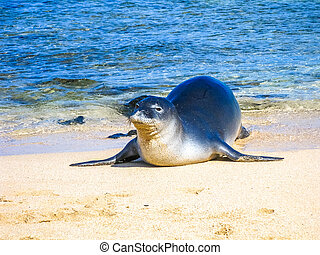 Seal on beach - Portrait of a hawaiian monk seal sleeping on...