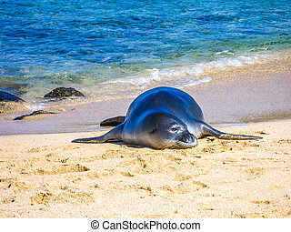 Seal on beach - Hawaiian monk seal sleeping on the tropical...
