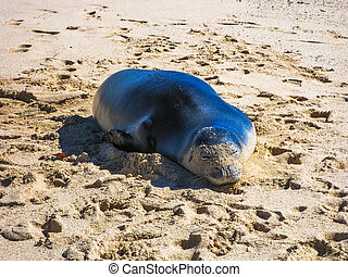 Hawaiian Monk Seal - Hawaiian monk seal sleeping on the...