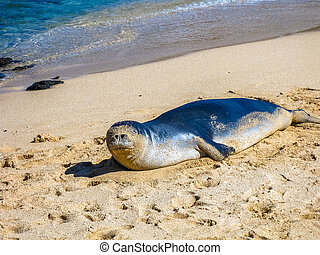 Monk Seal Hawaii - Hawaiian monk seal lying on the tropical...