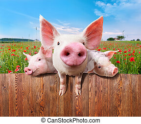 Three charming pigs from wonderful farm - Young pigs on the...