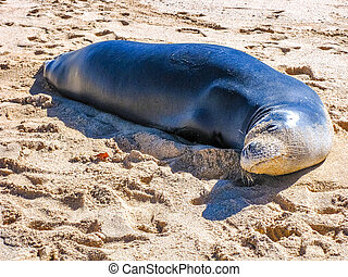 hawaiian Seal - Hawaiian monk seal lying on the tropical...