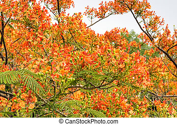Royal Poinciana in bloom - Royal Poinciana (Gulmohar) tree...