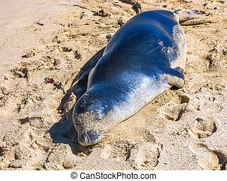 hawaiian Seal - Portrait of a hawaiian monk seal sleeping on...