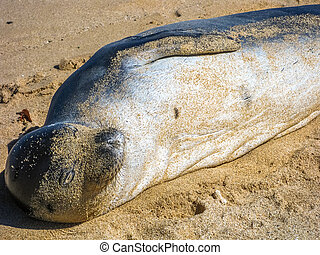 Seal lying - Closeup of hawaiian monk seal sunning on sandy...