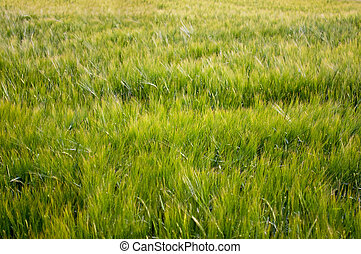 Grain-field - Beauty, summery grain field as a harvest...