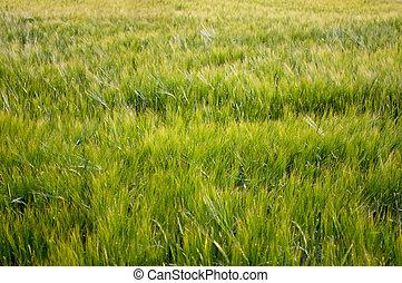 Grain-field - Beauty, summery grain field as a harvest...
