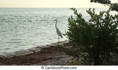 White Heron on shore line Fl Keys - Florida Keys shore line...