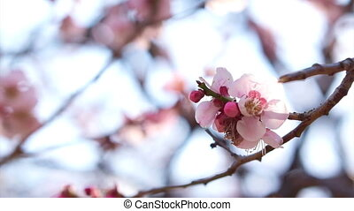 Pink cherry plum flowers blossom