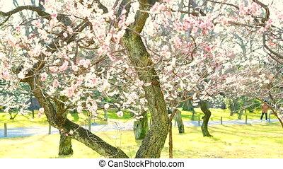 Pink cherry plum flowers blossom - Pink cherry plum flowers...