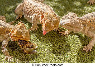 Lizards eating - Pogona Vitticept reptiles competing for...