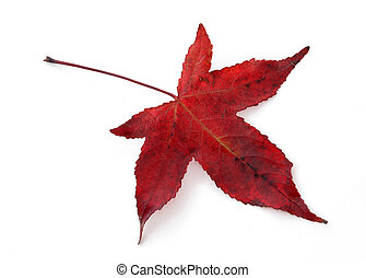 Red Maple Leaf - Single red maple leaf isolated on white.