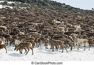 manada, Reindeers