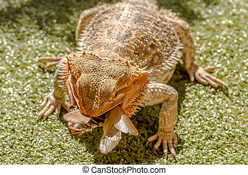 Pogona eating beetle - Pogona Vitticept eating beetle on...