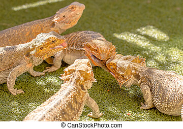 Pogonas eating - Pogona Vitticept reptiles competing for...