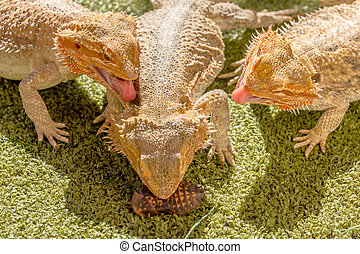 Pogona eating - Pogona Vitticept reptiles competing for...