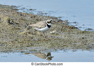Little ringed plover (Charadrius dubius) - Little ringed...