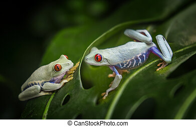 tropical frogs background - tropical red eyed treefrogs...