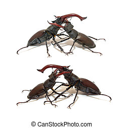 Duel - Two fighting stag beetle isolated on white...