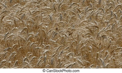 Agriculture, wheat plant field - Golden wheat plant in field...