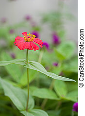Zinnia flower (Zinnia violacea Cav.) Close up